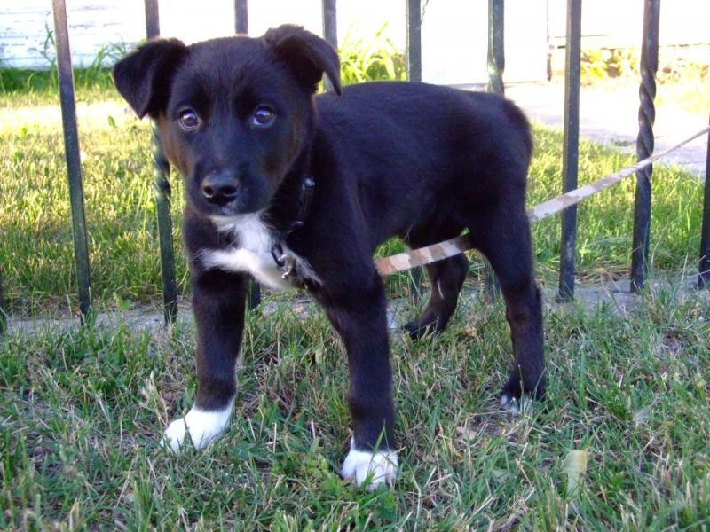 Husky Border Collie Mix Puppies Huskyorder Collie Mix-